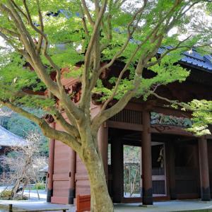 石蕗咲く 鎌倉妙本寺
