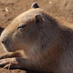Capybara カピバラ @ソレイユの丘