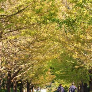 南郷上ノ山公園 銀杏並木