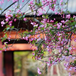 花海棠咲く 鎌倉妙本寺 3