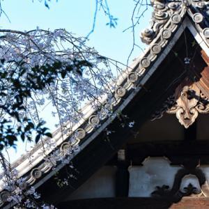 枝垂れ桜咲く 鎌倉安国論寺