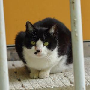 ハチワレ黒白猫