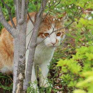茶トラハチワレ猫