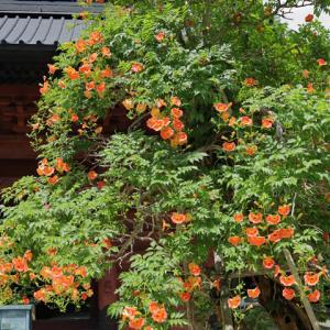 ノウゼンカズラ咲く 鎌倉妙本寺