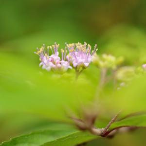 コムラサキ 小紫の花