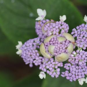タマアジサイ 玉紫陽花