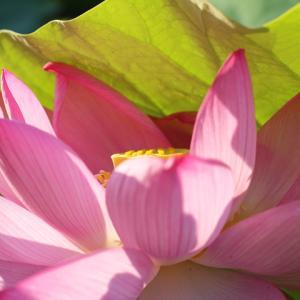 蓮の花咲く 鎌倉本覚寺