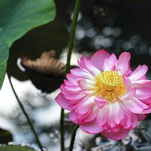 蓮の花咲く 鎌倉光明寺