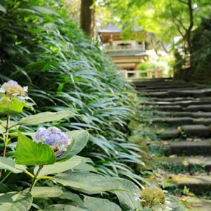 玉紫陽花咲く 鎌倉浄智寺