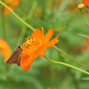 黄花コスモスとセセリチョウ
