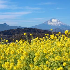 菜の花咲く 吾妻山公園