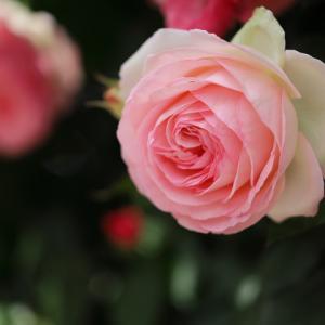 バラ Pierre de Ronsard ピエール・ドゥ・ロンサール