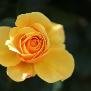バラ 黄色薔薇 @未来のバラ園