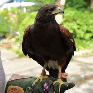 Harris's Hawk ハリスホーク 蘭ちゃん