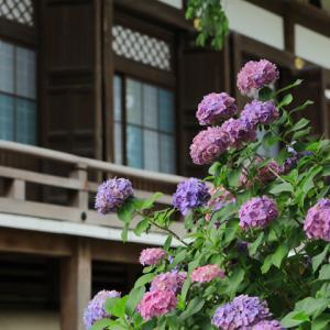 紫陽花咲く 鎌倉本覚寺