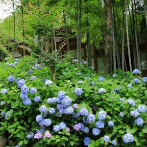 紫陽花咲く 鎌倉円覚寺