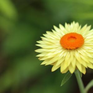 ムギワラギク 麦藁菊
