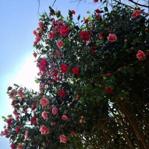 筑後広域公園 菜の花 河津桜
