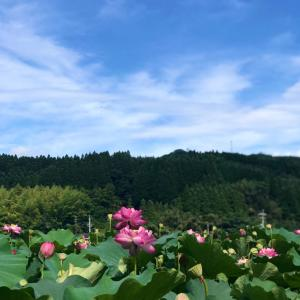 竹下さんの蓮畑   和水町