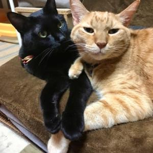 猫ソファを占拠する二匹