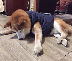 柴犬大介17歳 ダウンジャケットを購入