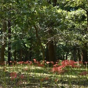 村上緑地公園のヒガンバナ(1)