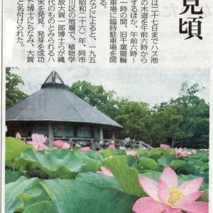 千葉公園の大賀ハス、見ごろは今週いっぱい!