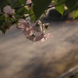 ・今年の桜〜その9〜