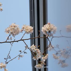 ・今年の桜〜その10おわり〜