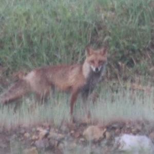 狐に出会う年・・・