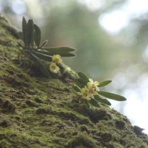 樹上でひっそり、コケの間に咲く ~ カヤラン