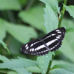 小気味よい山裾の滑空蝶 ~ コミスジ