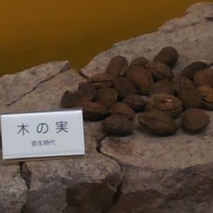"""弥生時代の気になる""""木の実""""~ 丹波市の発掘資料"""