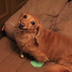 13歳2ヶ月メレ、爪が折れた後の経過を見に病院だ ▼・。・▼」」」」ーワン!!