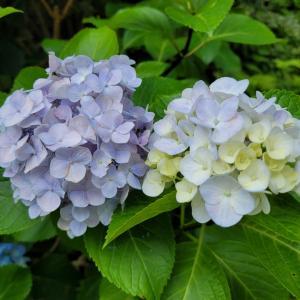 優しい色の紫陽花