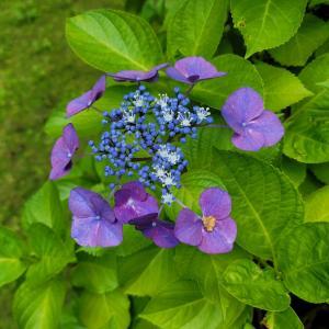 紫色のガクアジサイ、白のガクアジサイ