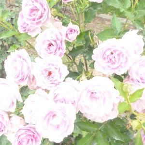 薔薇に間に合う