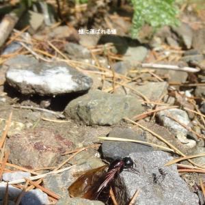 5月の翅のある蟻