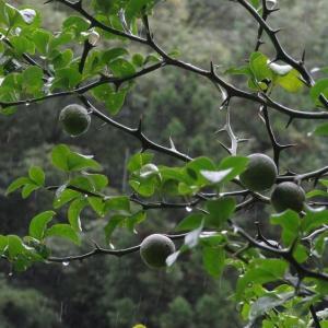 雨、カラタチの実