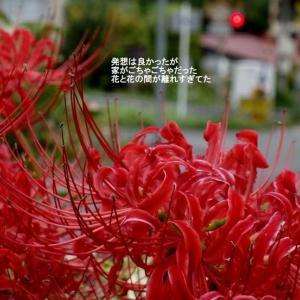 曼殊沙華の赤と黒(926)