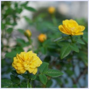 ■ 晩夏のバラ Ⅳ