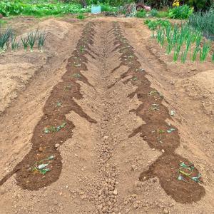 自給自足したい!サツマイモとトウガラシを植えました。