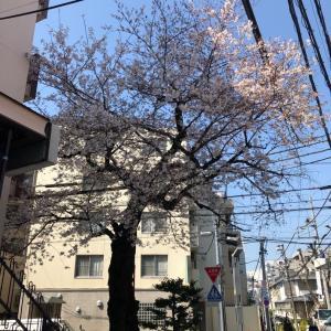 近所の桜さがし…あるのよね~いくらでも。