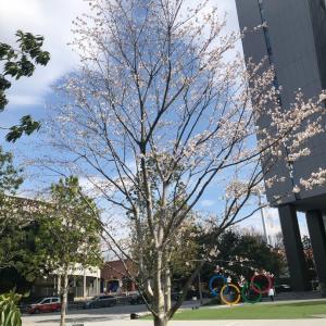 神宮外苑で桜三昧…ここがあるから陸上競技場が映えるのよ。