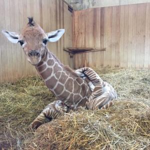 命を考えるきっかけの「キリンのはぐみ」広島市安佐動物公園