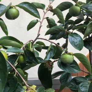 柿は不良息子より育て易い…22日「ブルーインパルス」の予行飛行