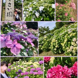 紫陽花が見頃の蜻蛉池公園