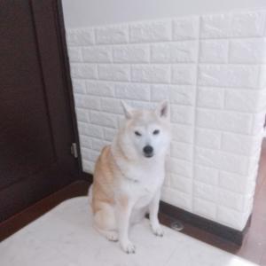 ●不器用さんでもDIYできる!柴犬に壁を破壊されて、やっと修復