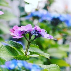2019 紫陽花