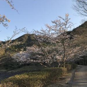 桜 そして夕陽